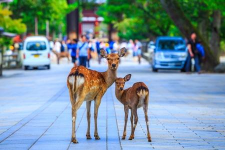 deer in Nara Japan 写真素材