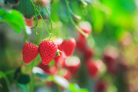 イチゴ畑、人なし 写真素材 - 97364137