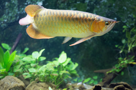 Arowana in the aquarium Stock Photo