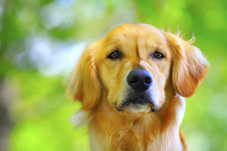 Golden retriever and green background