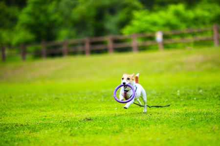 Jack Russell Terrier playing outdoors Stockfoto