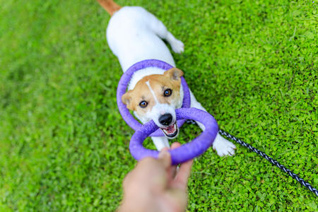 Jack Russell Terrier playing outdoors
