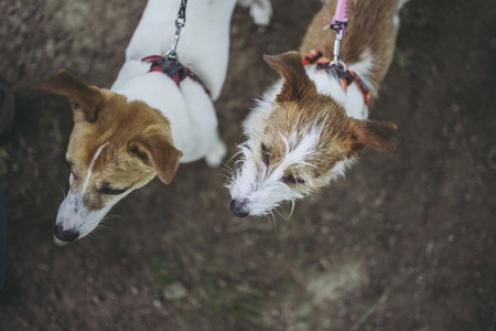 Jack Russell Terrier playing outdoors Stock Photo