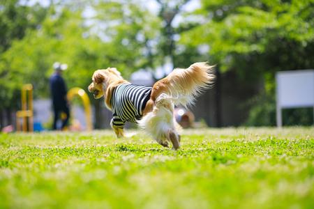 Golden retriever playing outdoors Фото со стока - 115779526