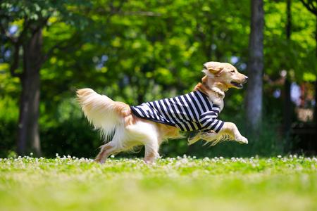 Golden retriever playing outdoors Фото со стока - 115779618