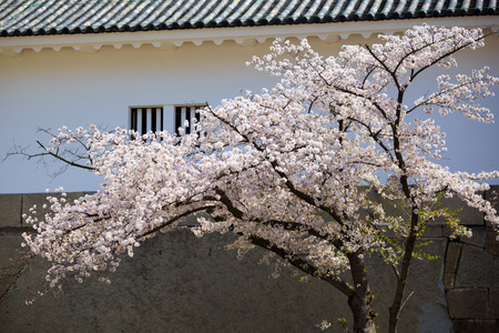 Sakura and Japan