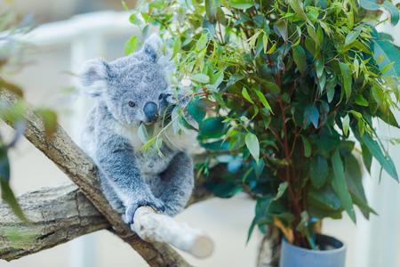 Koalas and animals