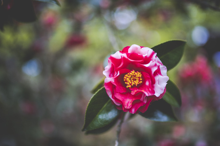 Japan and Camellia