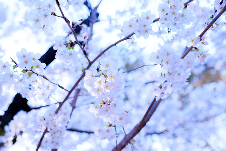Cherry blossoms with Japan