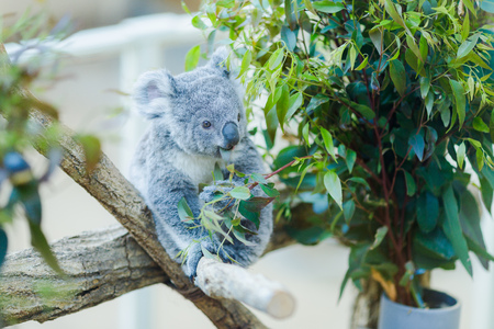Koalas and animals