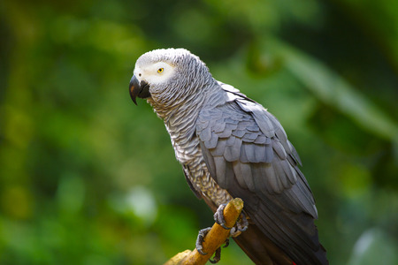 Gray Parrot in Nature Stok Fotoğraf