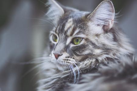Maine Coon cat pet