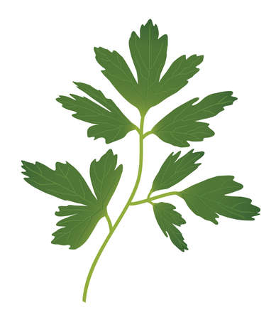 cilantro: Parsley  Illustration