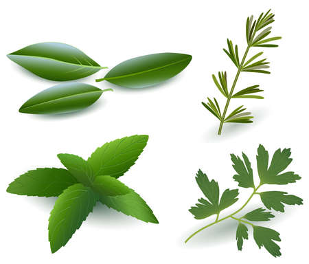 Herbs   Laurel , Rosemary,Mint, Parsley   Stock Vector - 17681028