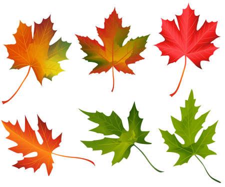 colorful maple trees: autumn leaves