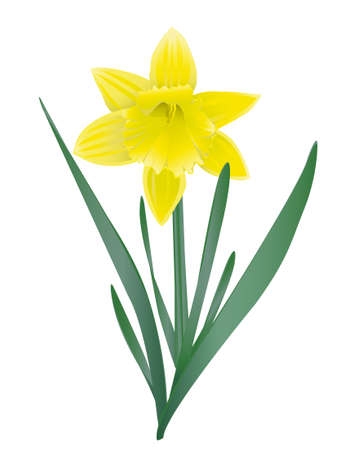 daffodil Stock Vector - 18517410