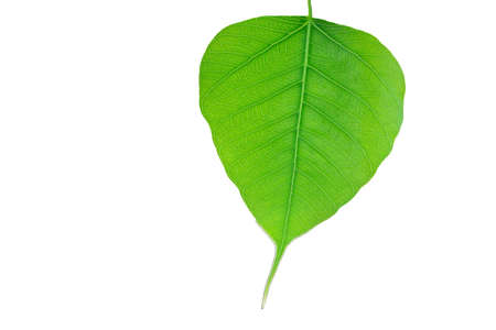 bo: Bo Leaf Stock Photo