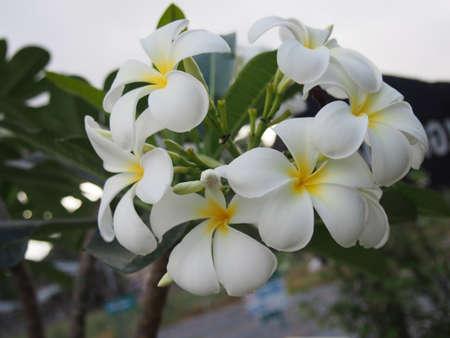 Blooming Plumeria Flowers photo