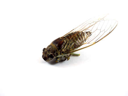 karkas: Cicada carcass, body of insect, wing animal