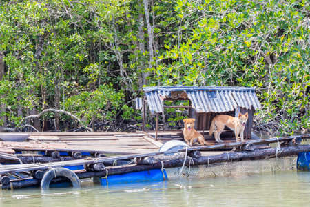 occupy: Two stray dogs occupying abandoned raft in the mangroves of Langkawi island Malaysia Stock Photo