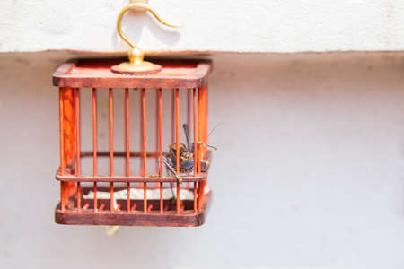 imprisoned: Imprisoned long horn grasshopper looking out of his cell in a red cage hanging from a white wall on a golden hook Stock Photo