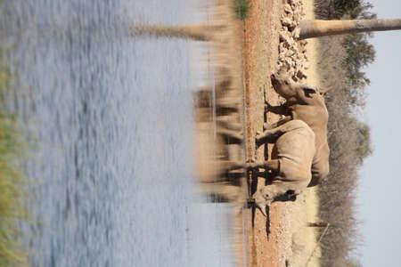 pozo de agua: rinocerontes en una charca