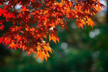 changing color: Beauty maple leaf in Autumn season