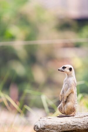A Suricata looking away lonely photo
