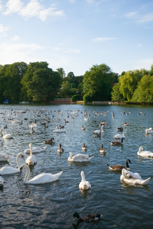 A flock of geese and duck swimming in the river Stock Photo