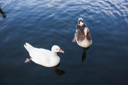 A flock duck swimming in the river Stock Photo