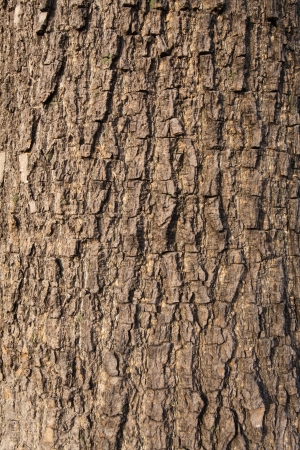 Olive tree  bark background texture pattern. photo