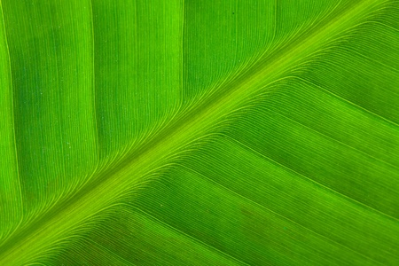Background texture of banana leaf Stock Photo