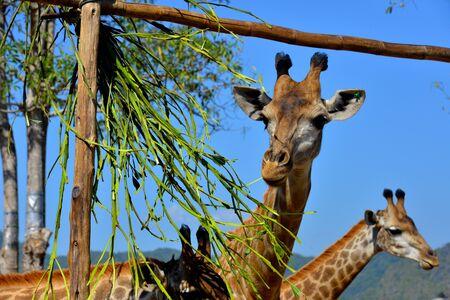 De jonge giraf eet lunch in Boon Rawd-landbouwbedrijf Stockfoto