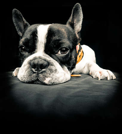 French bulldog resting over black floor