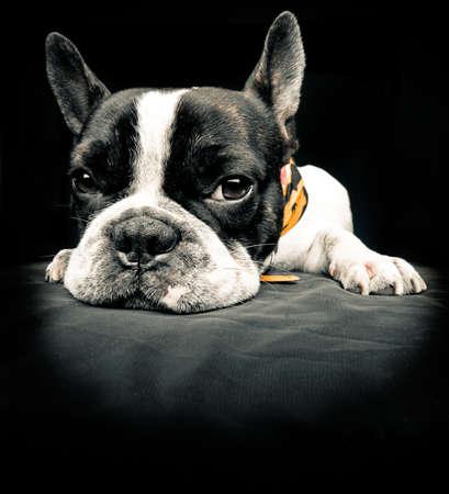 bulldog puppy: French bulldog resting over black floor
