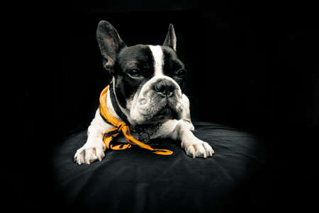 frenchie: Frenchie over black background looking forward Stock Photo