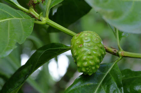 the fruit of morinda plant