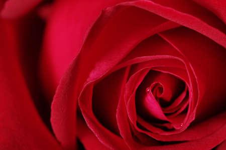 closeup of red rose