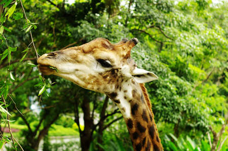 ruminants: an African even-toed ungulate mammal Stock Photo