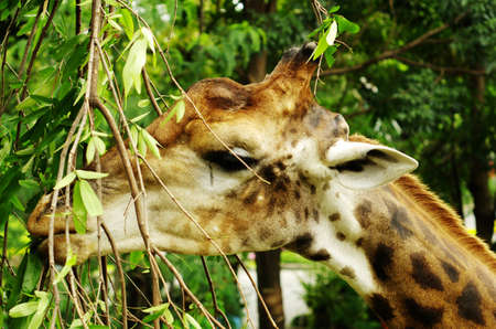 an African even-toed ungulate mammal Stock Photo