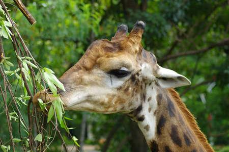 an ungulate: un africano artiodattili mammifero ungulato