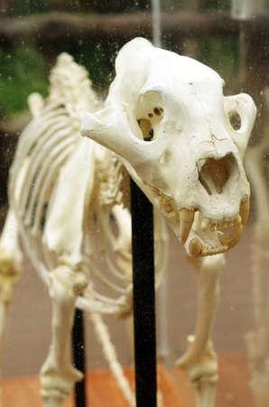 detail of animal skeleton ,tiger bone Stock Photo