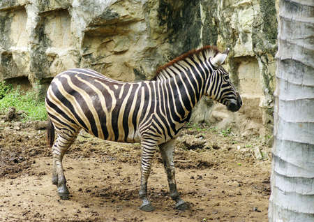 a zebra in thailand zoo photo