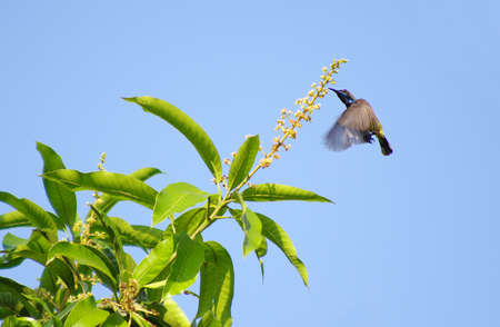 flying olive-backed sunbird