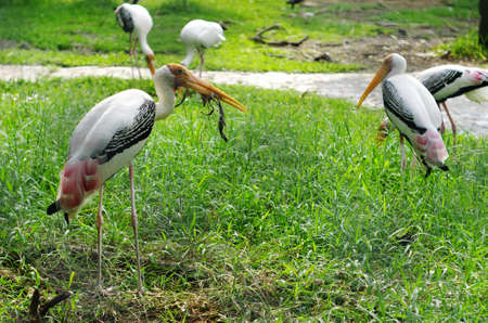 Painted Stork Bird live in Thailand National Zoo
