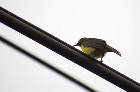 Olive-backed sunbird live in city