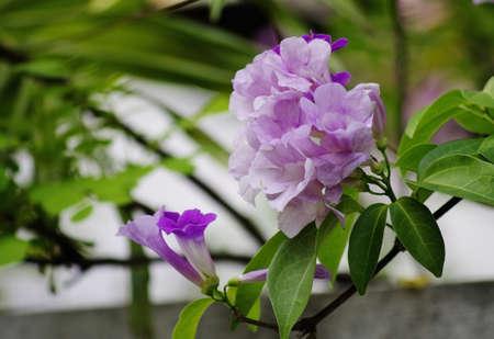 Garlic Vine Flower on Tree