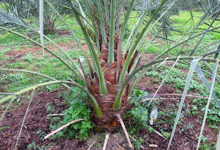 propagation: Date palm tree in the garden