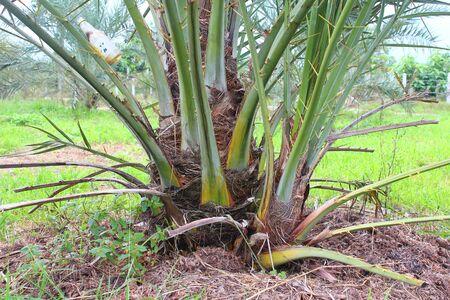 date tree: Date palm tree in the garden
