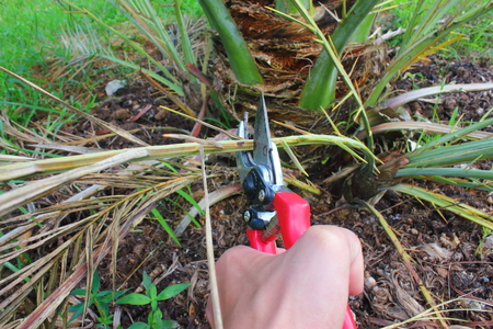 date palm: Pruning Date palm tree with secateurs in the garden.
